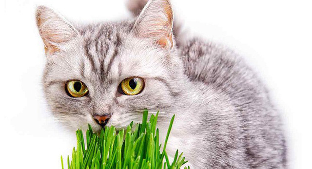Bí ẩn được giải đáp: Tại sao đôi khi lũ mèo ăn cỏ? - Ảnh 2.