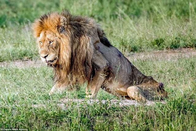Cái kết của một vị vua: Bi kịch phũ phàng khi sư tử đứng đầu về già và bị đuổi khỏi đàn - Ảnh 1.