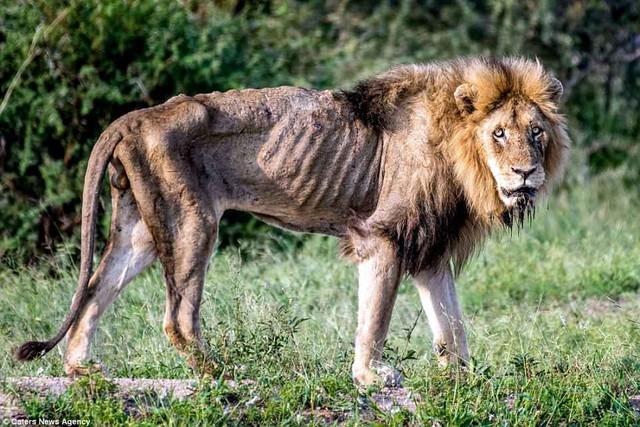 Cái kết của một vị vua: Bi kịch phũ phàng khi sư tử đứng đầu về già và bị đuổi khỏi đàn - Ảnh 2.