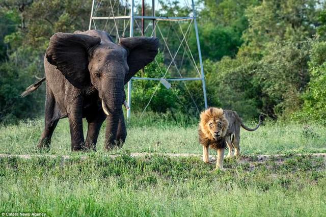 Cái kết của một vị vua: Bi kịch phũ phàng khi sư tử đứng đầu về già và bị đuổi khỏi đàn - Ảnh 4.