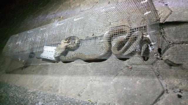 Dân phản ánh rắn hổ mang phi thân ra mổ người đi xe máy tại khu chung cư ở Hà Đông - Ảnh 5.