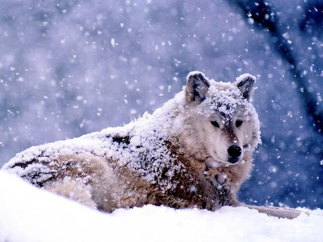 Nhốt con sói săn được ở ngoài trong đêm bão, hôm sau, người đàn ông kinh ngạc trước cảnh tượng nhìn thấy - Ảnh 1.