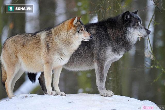 Nhốt con sói săn được ở ngoài trong đêm bão, hôm sau, người đàn ông kinh ngạc trước cảnh tượng nhìn thấy - Ảnh 2.