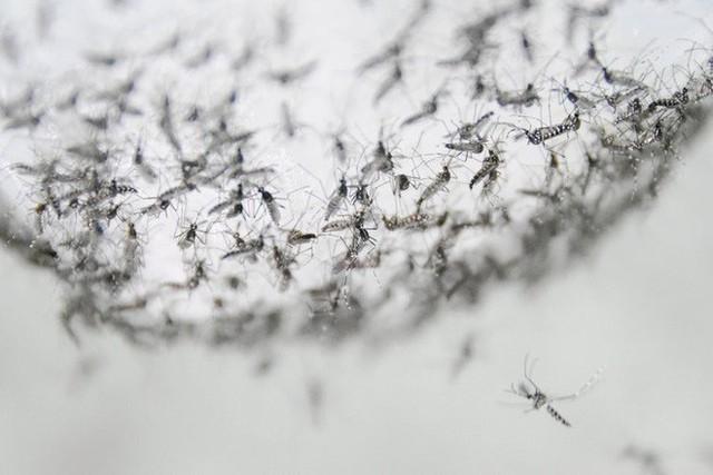 Bé nhỏ là thế, tại sao muỗi có thể đe dọa mạng sống của một nửa dân số thế giới? - Ảnh 6.