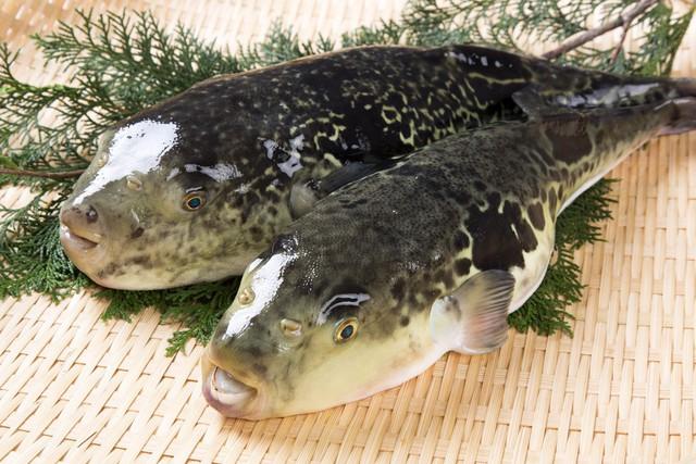 7,5 triệu đồng/100g thịt, ai mà ngờ loại cá vừa xấu xí vừa cực độc này lại đáng giá ở Nhật Bản đến thế - Ảnh 4.