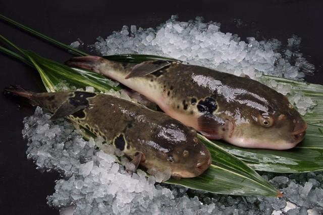 7,5 triệu đồng/100g thịt, ai mà ngờ loại cá vừa xấu xí vừa cực độc này lại đáng giá ở Nhật Bản đến thế - Ảnh 8.