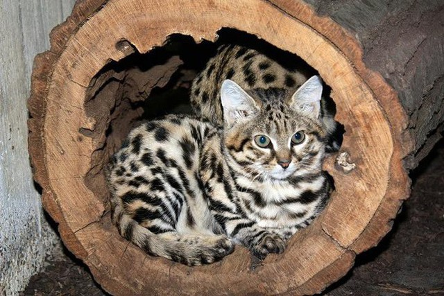 Mèo chân đen: Nhìn thì có vẻ ngây thơ nhưng chúng lại là loài mèo nguy hiểm nhất trên Trái Đất - Ảnh 10.