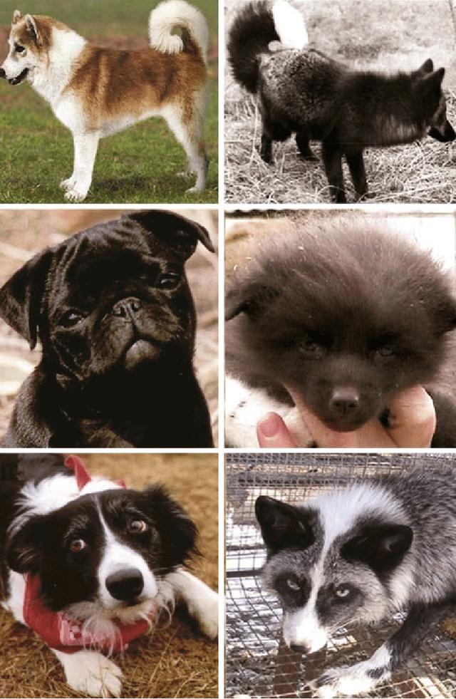 Thí nghiệm thuần hóa của Nga biến loài cáo bạc trở thành chó - Ảnh 9.