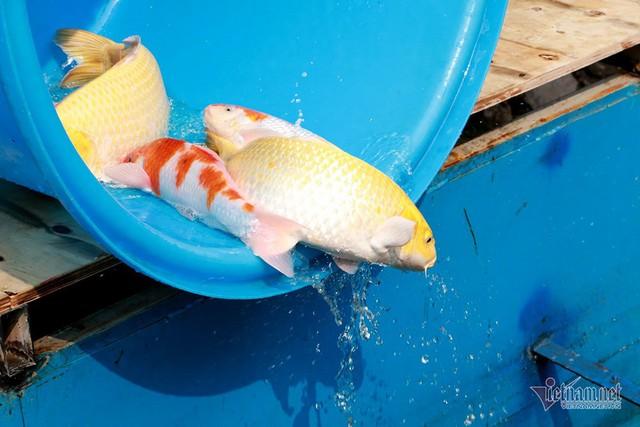 Đàn cá Koi Nhật Bản bơi tung tăng trên sông Tô Lịch ngày nắng nóng - Ảnh 11.