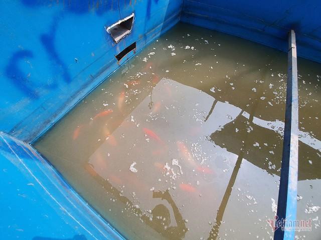 Đàn cá Koi Nhật Bản bơi tung tăng trên sông Tô Lịch ngày nắng nóng - Ảnh 14.