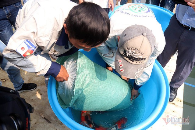 Đàn cá Koi Nhật Bản bơi tung tăng trên sông Tô Lịch ngày nắng nóng - Ảnh 5.
