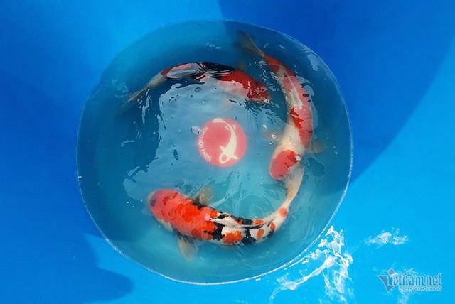 Đàn cá Koi Nhật Bản bơi tung tăng trên sông Tô Lịch ngày nắng nóng - Ảnh 7.