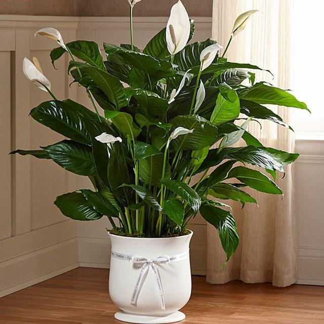 Bạn khỏi cần sợ không khí ô nhiễm khi biết trồng 1 trong 15 loại cây này trong nhà - Ảnh 9.