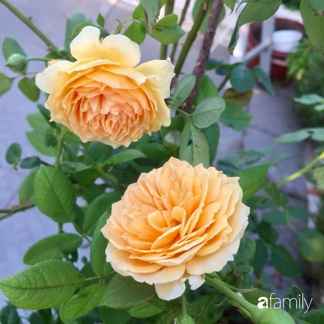 Khu vườn 30m² muôn hoa đua nở trên sân thượng của bà mẹ 3 con ở TP. HCM - Ảnh 22.