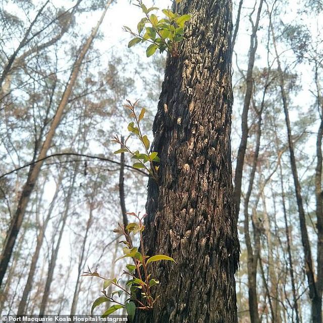 Phượng hoàng lửa tái sinh từ đống tro tàn: Những mầm sống vươn mình tại nơi hứng chịu sự càn quét của Thảm hoạ cháy rừng - Ảnh 4.