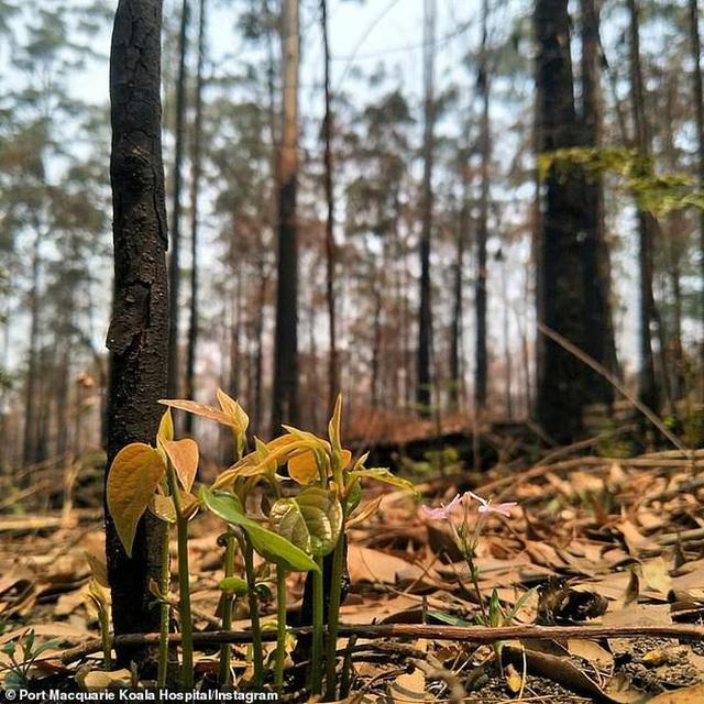 Phượng hoàng lửa tái sinh từ đống tro tàn: Những mầm sống vươn mình tại nơi hứng chịu sự càn quét của Thảm hoạ cháy rừng - Ảnh 6.