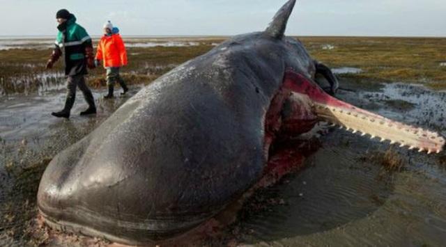 1001 thắc mắc: Tại sao xác cá voi lại phát nổ như bom? - Ảnh 1.