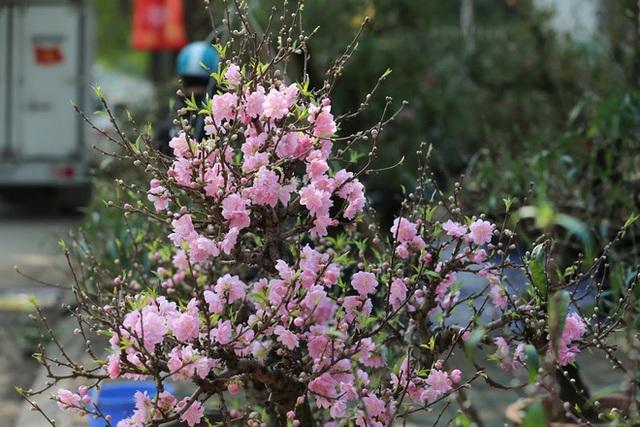 Dân buôn nhấp nhổm sợ mất Tết vì đào cảnh nở gần hết hoa, dài cổ chờ khách - Ảnh 2.