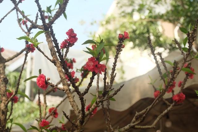 Dân buôn nhấp nhổm sợ mất Tết vì đào cảnh nở gần hết hoa, dài cổ chờ khách - Ảnh 7.