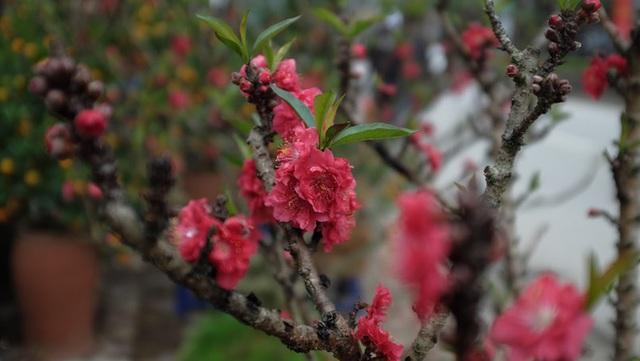 Dân buôn nhấp nhổm sợ mất Tết vì đào cảnh nở gần hết hoa, dài cổ chờ khách - Ảnh 9.