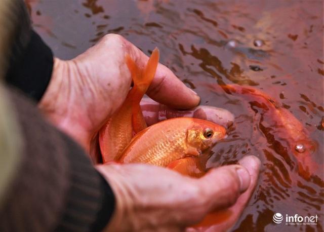 Làng nuôi cá chép đỏ tất bật trước ngày cúng ông Công ông Táo - Ảnh 11.