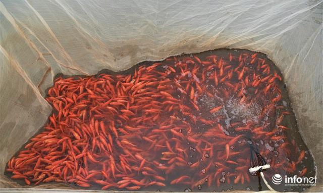 Làng nuôi cá chép đỏ tất bật trước ngày cúng ông Công ông Táo - Ảnh 8.