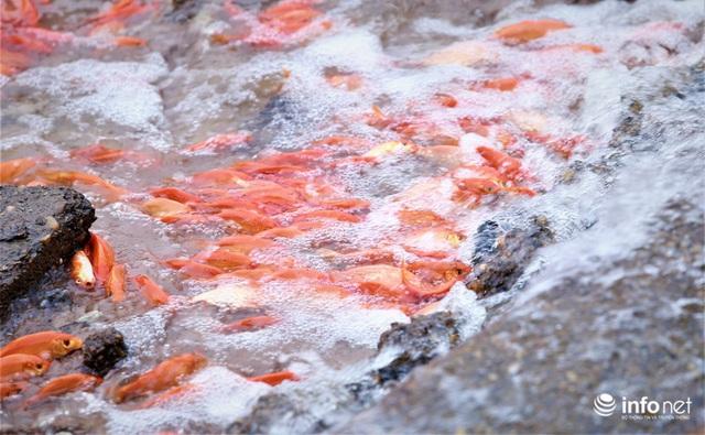 Làng nuôi cá chép đỏ tất bật trước ngày cúng ông Công ông Táo - Ảnh 10.