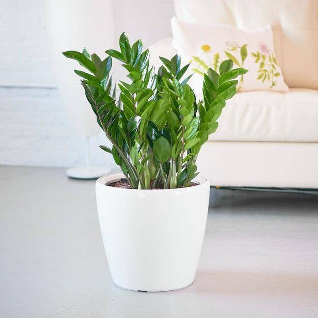 Những loại cây nhiều người ưa trồng trong nhà nhưng lại chứa nhiều chất cực độc - Ảnh 4.
