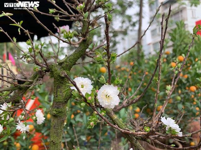 Độc lạ nhất chi mai trồng trên gỗ Pơmu quý hiếm, giá 30 triệu đồng - Ảnh 11.
