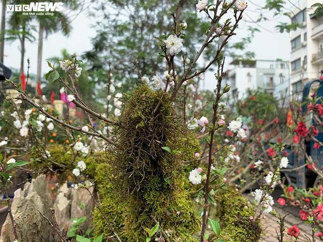 Độc lạ nhất chi mai trồng trên gỗ Pơmu quý hiếm, giá 30 triệu đồng - Ảnh 5.
