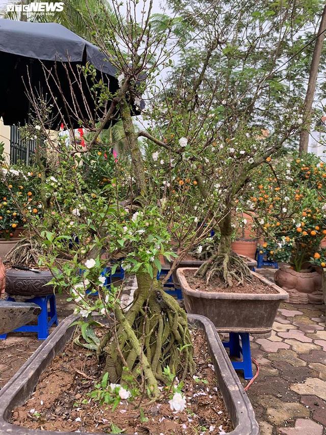 Độc lạ nhất chi mai trồng trên gỗ Pơmu quý hiếm, giá 30 triệu đồng - Ảnh 8.