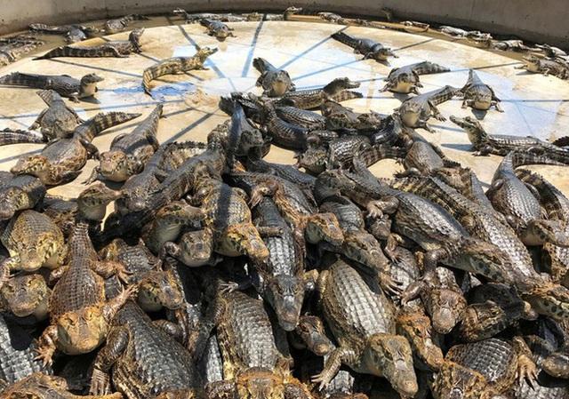 1001 thắc mắc: Vì sao cá sấu nuốt mồi dưới nước mà không bị sặc? - Ảnh 2.