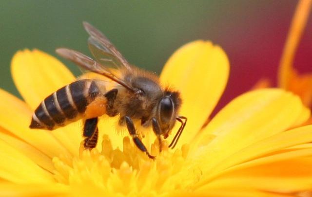 1001 thắc mắc: Ong có ngủ không, kinh khủng thế nào nếu ong tuyệt chủng? - Ảnh 1.
