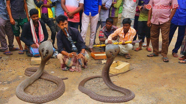 Giải mã bí mật đằng sau màn ảo thuật điều khiển rắn hổ mang bằng kèn của phù thủy rắn Ấn Độ - Ảnh 4.