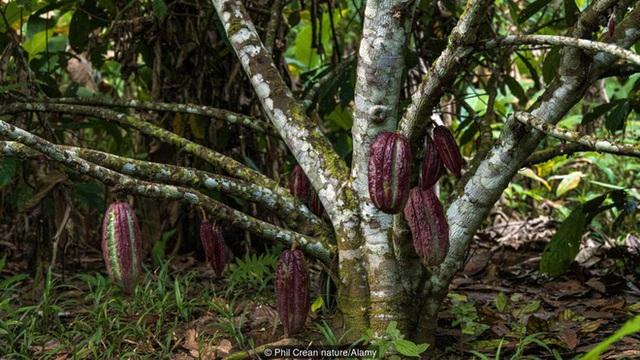 Câu chuyện cảm động về hành trình khôi phục một giống cây chocolate quý hiếm và cổ nhất Trái đất - Ảnh 3.