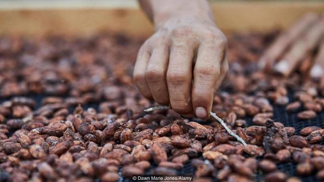 Câu chuyện cảm động về hành trình khôi phục một giống cây chocolate quý hiếm và cổ nhất Trái đất - Ảnh 5.