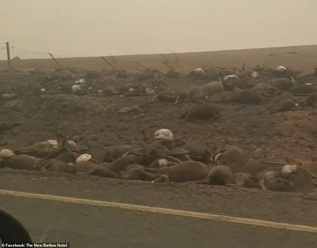Xác kangaroo, gấu koala và cừu cháy đen, nằm la liệt bên đường ở Úc cho thấy thảm hoạ cháy rừng đang kinh khủng đến mức nào - Ảnh 2.