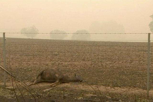 Xác kangaroo, gấu koala và cừu cháy đen, nằm la liệt bên đường ở Úc cho thấy thảm hoạ cháy rừng đang kinh khủng đến mức nào - Ảnh 3.