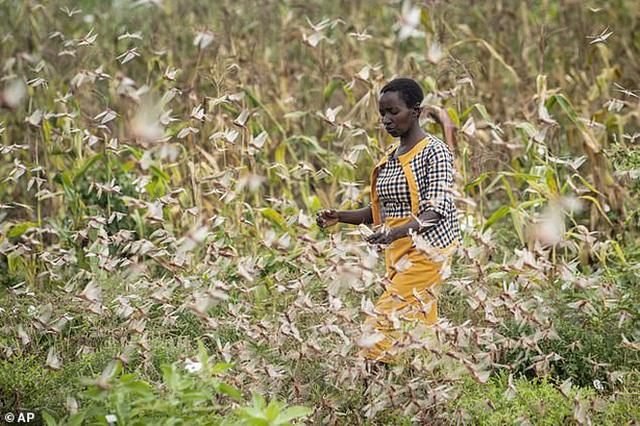 Chưa hết hạn hán, lũ lụt chồng chất, người dân Châu Phi đang phải hứng chịu nạn châu chấu di cư đẩy hàng chục triệu người vào cảnh chết đói - Ảnh 3.