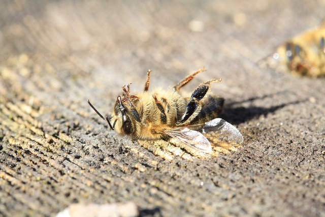 Biến đổi khí hậu đẩy loài ong vào nguy cơ tuyệt chủng, nhưng vẫn chưa quá muộn để nhân loại cứu chúng và cứu chính mình - Ảnh 1.