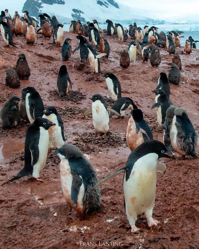 Nam Cực tăng nhiệt, chim cánh cụt vùng vẫy trong bùn đất - Ảnh 1.