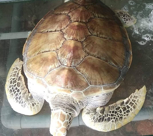 Chủ nhà hàng mua rùa biển quý hiếm nặng 30 kg để thả về biển - Ảnh 1.