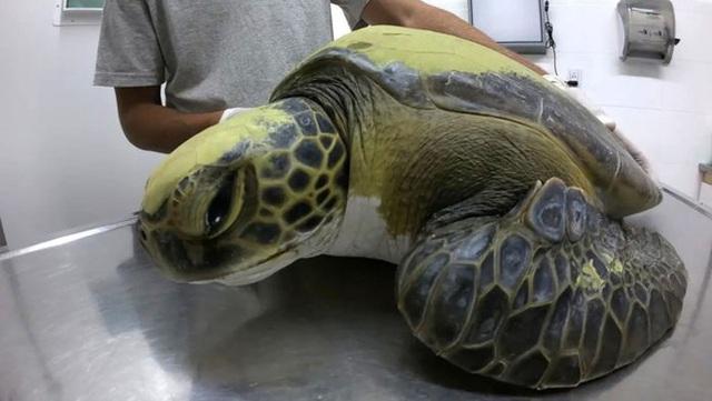 Một con rùa xanh quý hiếm phải uống thuốc xổ cả tháng trời mới thải hết rác nhựa trong bụng ra ngoài - Ảnh 3.