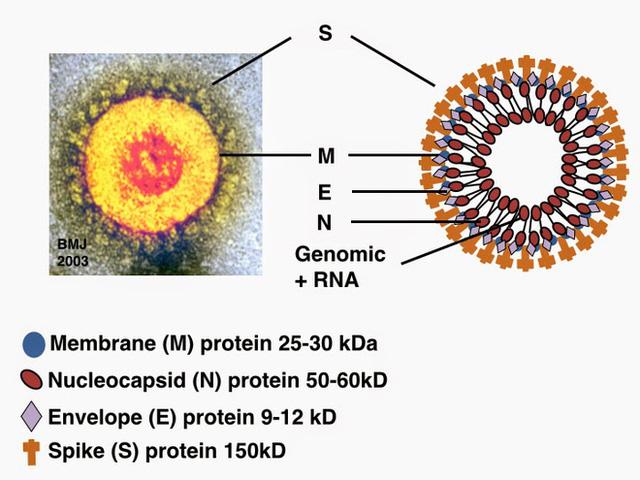 Đi tìm lời giải cho độc tính của virus corona: Khi nào chúng gây chết người, khi nào chỉ gây cúm? - Ảnh 1.