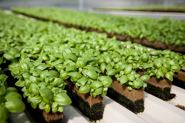 Nông nghiệp trong tương lai: Không cần đến đất và mặt trời, tiết kiệm 95% nước, 40% phân bón và không sử dụng thuốc trừ sâu - Ảnh 3.