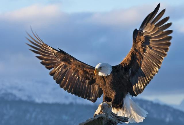 Chim ưng đổi 150 ngày thống khổ lấy 30 năm tuổi thọ và bài học đắt giá cho những kẻ ưa nhàn hạ nơi công sở - Ảnh 3.