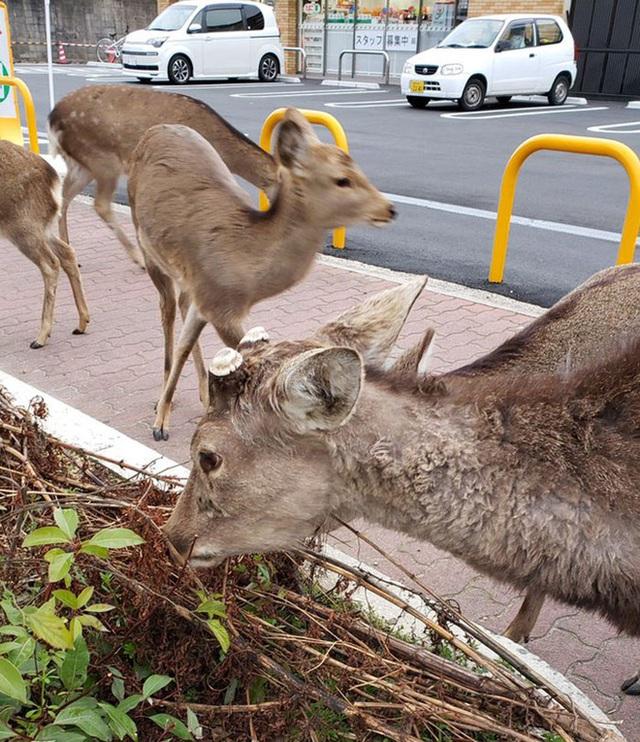Con người cách ly trong nhà trốn dịch, động vật hoang dã bỗng chiếm dụng đường phố - Ảnh 3.