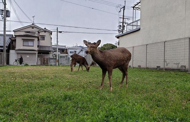 Con người cách ly trong nhà trốn dịch, động vật hoang dã bỗng chiếm dụng đường phố - Ảnh 5.