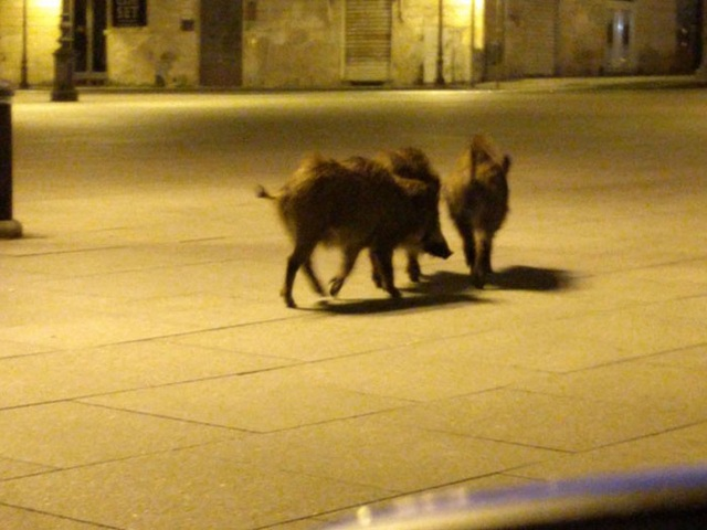 Con người cách ly trong nhà trốn dịch, động vật hoang dã bỗng chiếm dụng đường phố - Ảnh 7.