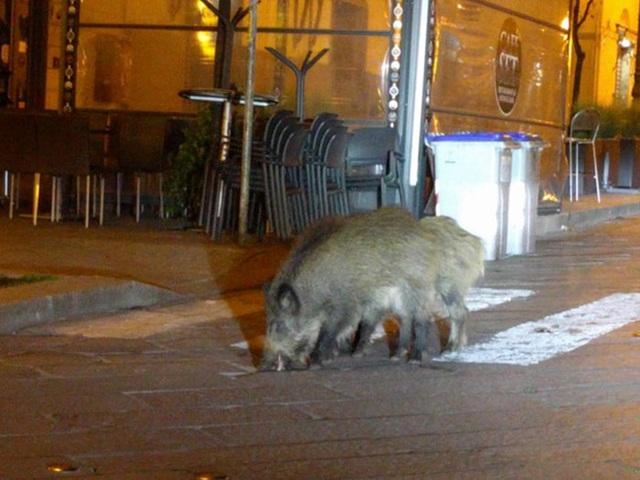 Con người cách ly trong nhà trốn dịch, động vật hoang dã bỗng chiếm dụng đường phố - Ảnh 8.